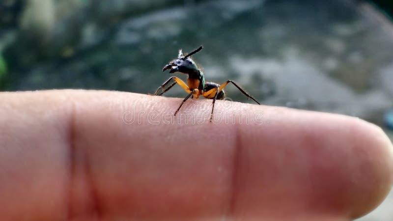 在手指的大蚂蚁 库存图片