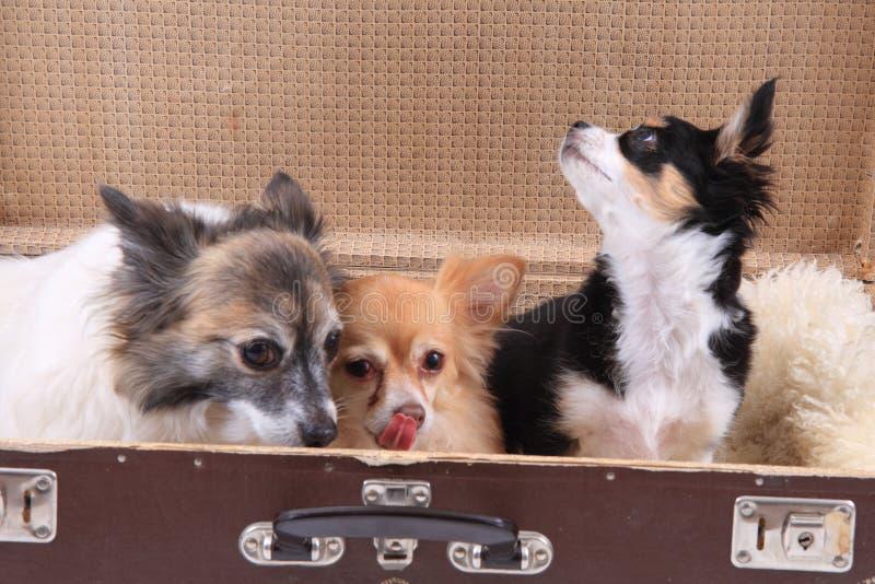 在手提箱的三条奇瓦瓦狗狗 免版税库存图片
