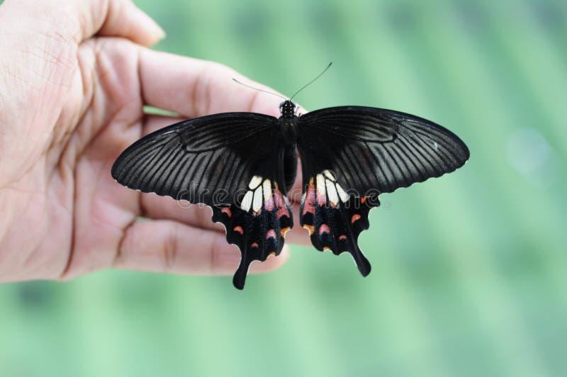在手边关闭蝴蝶(共同的摩门教徒) 库存照片