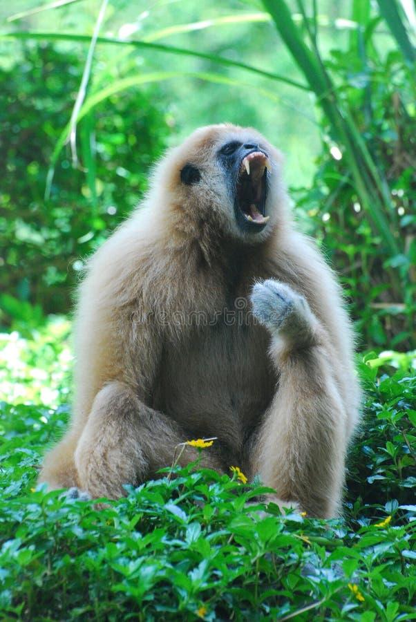 在打呵欠的行动的一只长臂猿 库存照片