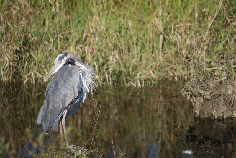 在打桩的一个伟大蓝色的苍鹭的巢身分 库存图片