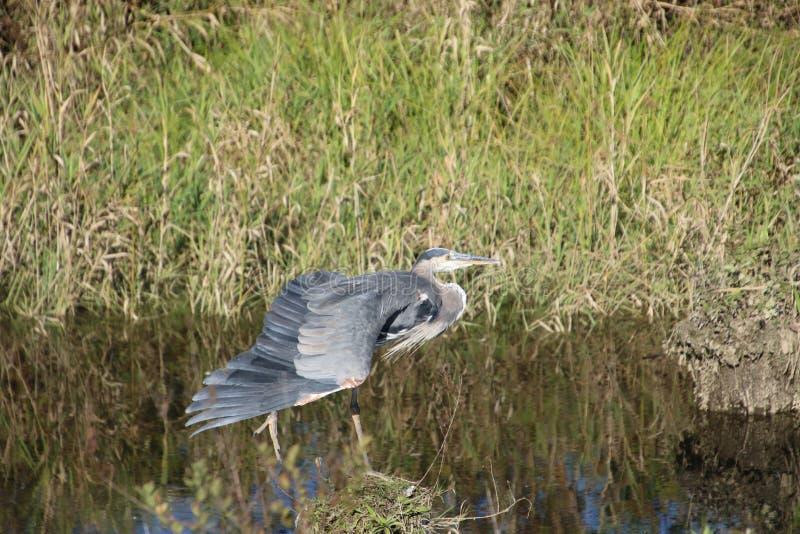 在打桩的一个伟大蓝色的苍鹭的巢身分 图库摄影