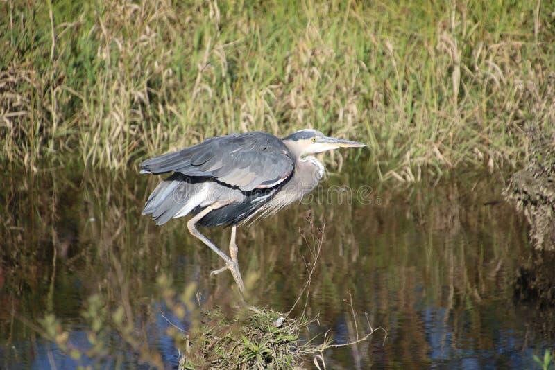 在打桩的一个伟大蓝色的苍鹭的巢身分 免版税库存照片