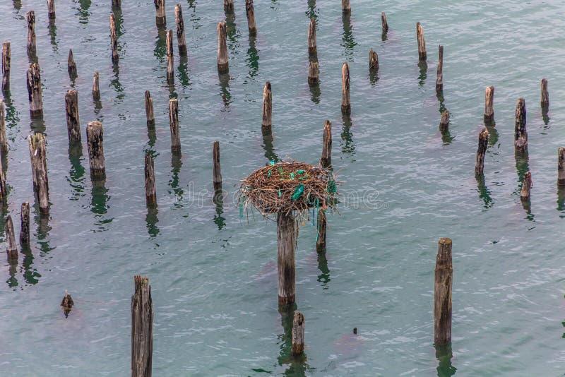 在打桩的白鹭的羽毛巢 免版税库存图片