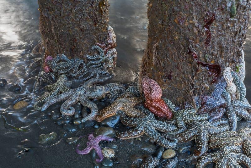 在打桩附近的海星群 免版税库存照片