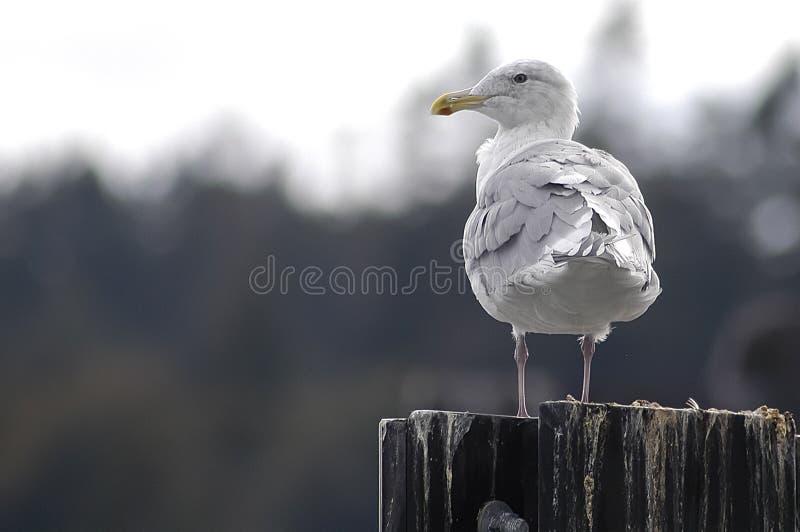 在打桩-浅DOF的海鸥 库存图片