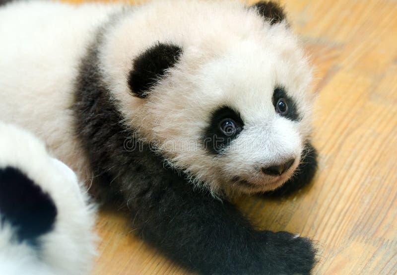 在托儿所戏剧平底锅的婴孩大熊猫,中国 库存照片