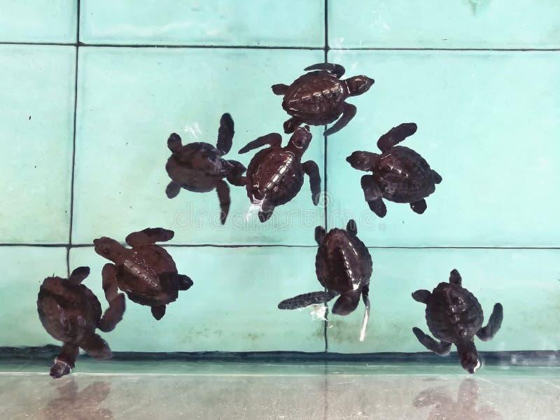 在托儿所水池的海龟 免版税库存照片