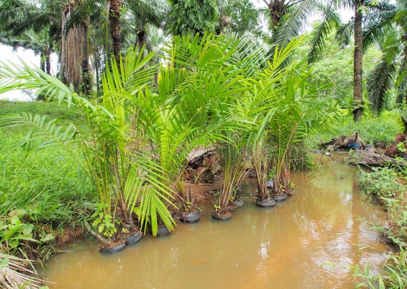 在托儿所领域的年轻油棕榈树树 免版税库存照片
