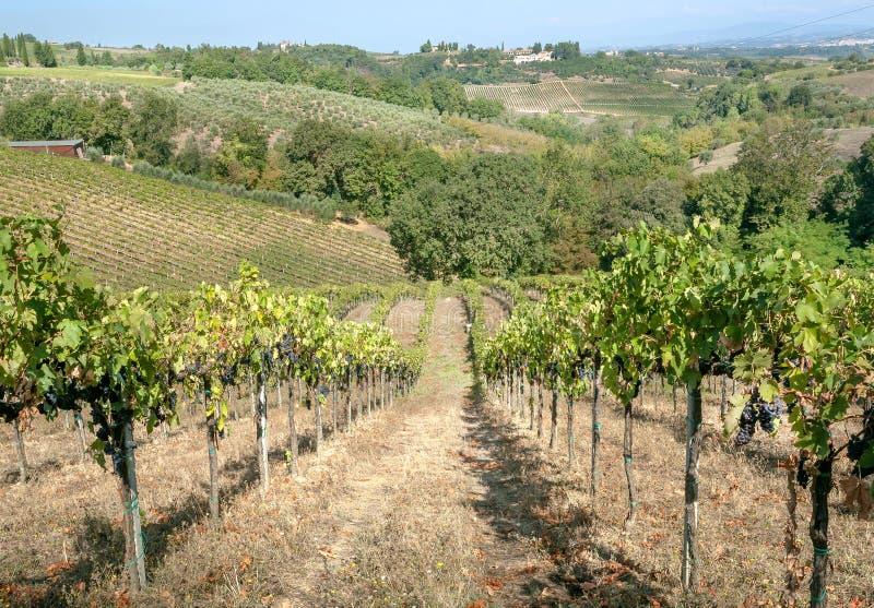 在托斯卡纳的小山的美丽的wineyards 五颜六色的葡萄园风景在意大利 在晴朗的国家风景的葡萄园行 免版税库存图片