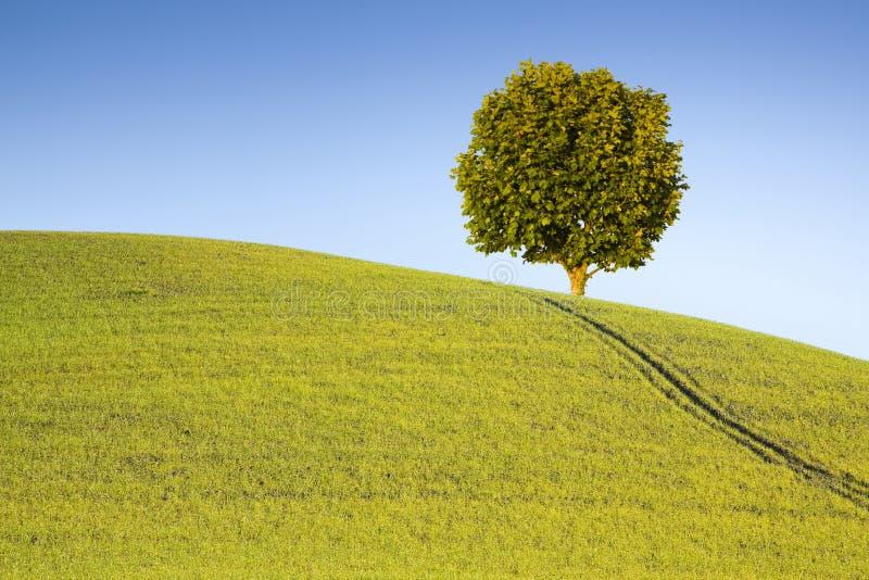 在托斯坎小山的悬铃树与拷贝空间 图库摄影