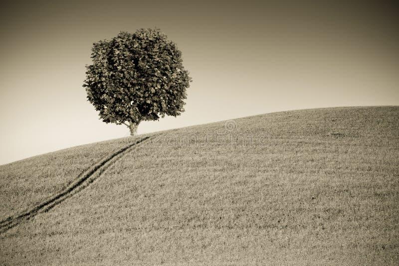在托斯坎小山的悬铃树与拷贝空间 免版税图库摄影