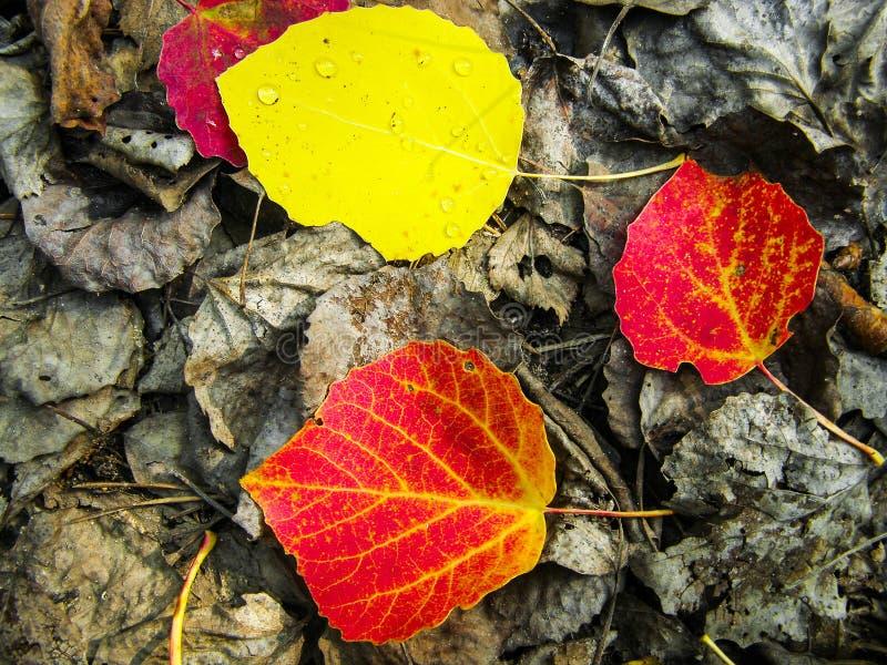在扣杆叶子特写镜头的明亮的下落的叶子 库存照片