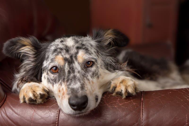 在扶手椅子的博德牧羊犬狗 免版税库存图片