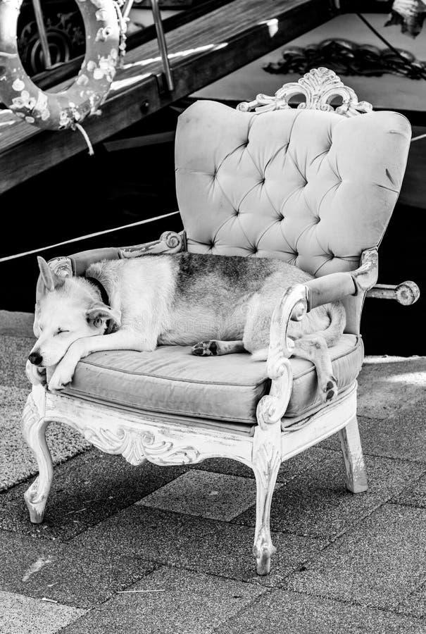 在扶手椅子的狗 库存照片