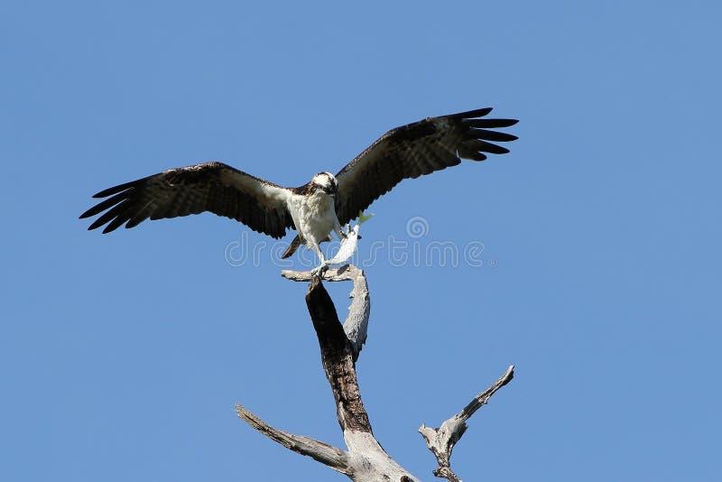 在抓一条大鱼之后的白鹭的羽毛 库存图片