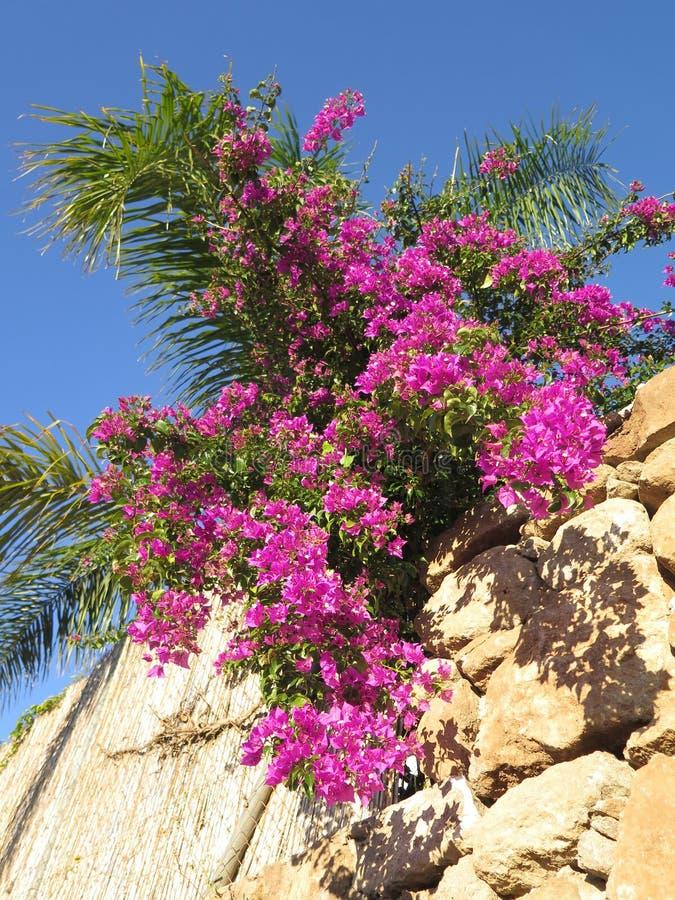 在护墙上的九重葛和棕榈树 免版税库存照片
