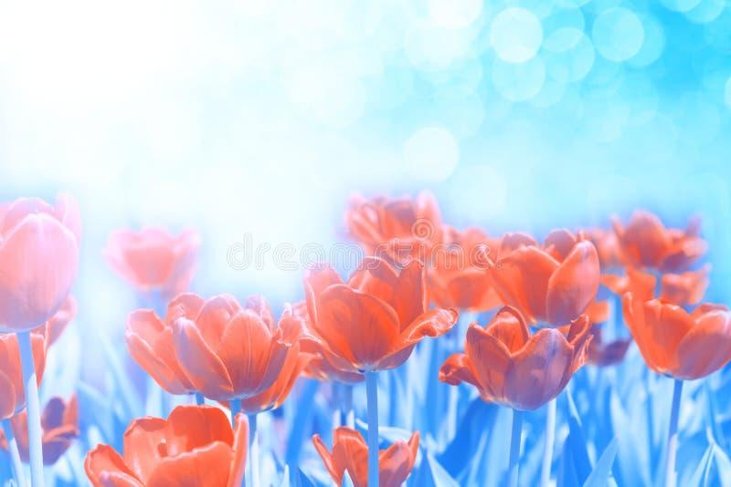 在抽象蓝色背景的红色花郁金香在阳光下 美好的浪漫艺术性的图象 选择聚焦,文本的地方 库存照片
