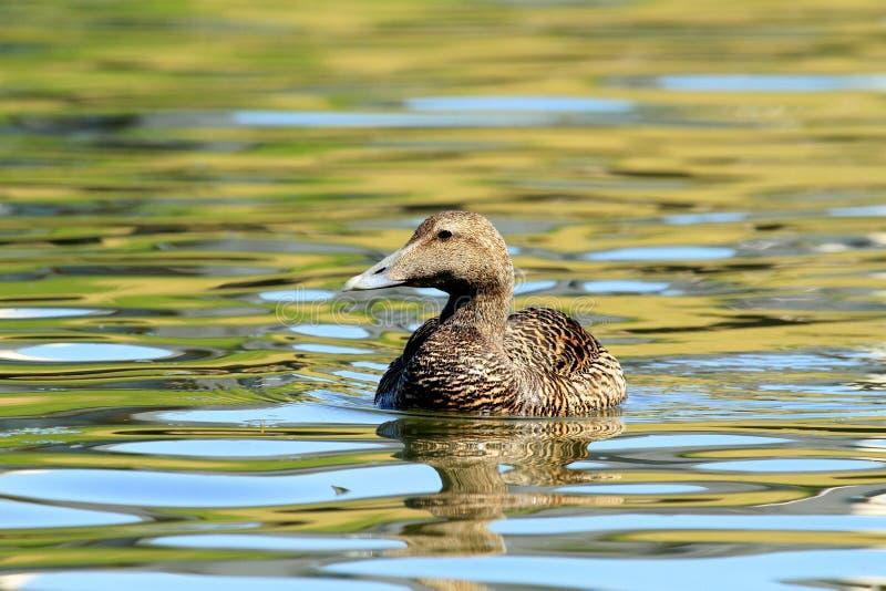 在抽象水的母野鸭 库存图片