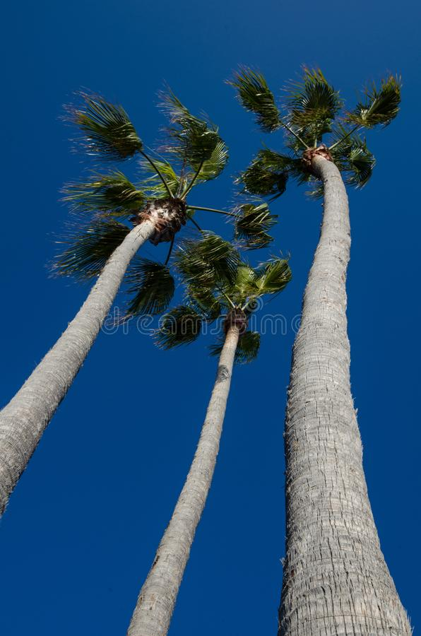 在拉古纳海滩加利福尼亚海岸的美丽的高棕榈树在反对明亮的天空蔚蓝的一个晴朗的夏日 画象视图 免版税图库摄影