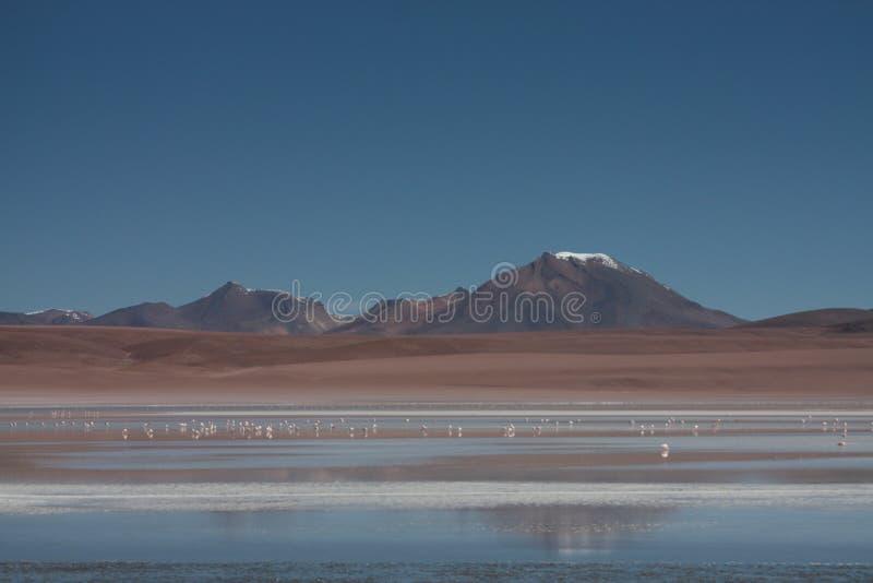 在拉古纳玻利维亚Sud Lipez的火鸟 免版税库存照片