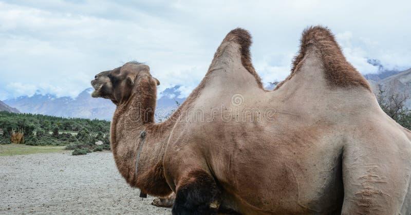 在拉达克,印度Nubra谷的骆驼徒步旅行队  库存照片