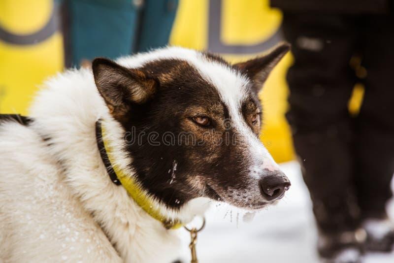 在拉雪橇狗赛跑的终点线的美丽的阿拉斯加多壳的狗 库存图片