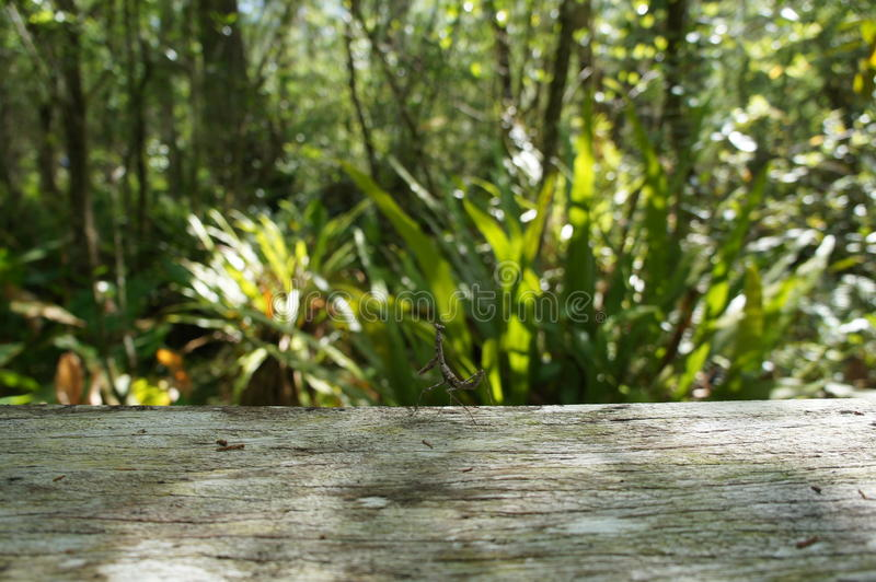 在拔塞螺旋沼泽圣所的螳螂 库存图片