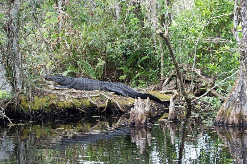 在拔塞螺旋沼泽的鳄鱼 免版税库存图片