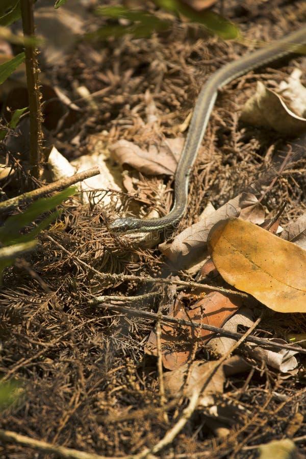在拔塞螺旋沼泽草丛的丝带蛇在佛罗里达 库存照片