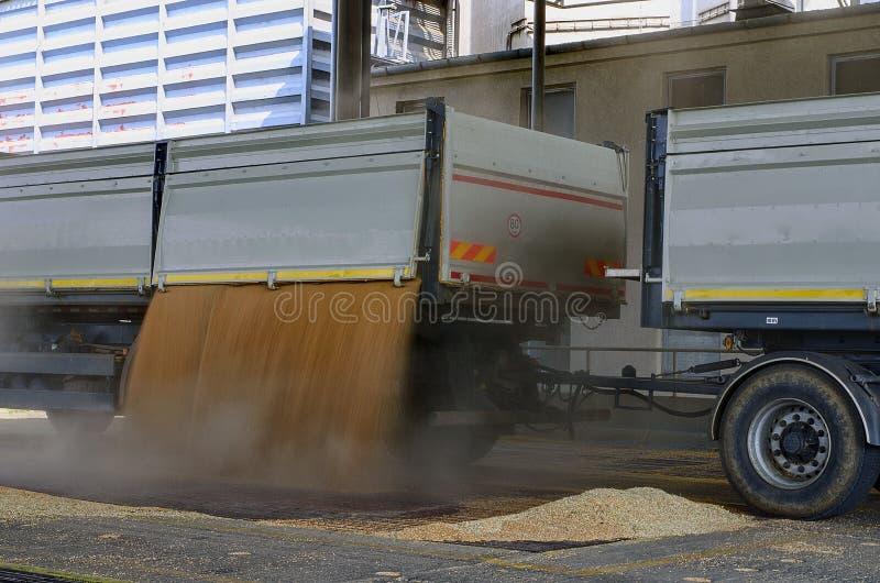 在拖车里面的被收获的玉米 五谷从卡车-卡车倾吐了到处理的一个筒仓里 免版税库存图片
