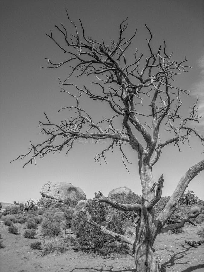 在拱门国家公园的死的树在犹他 免版税库存图片
