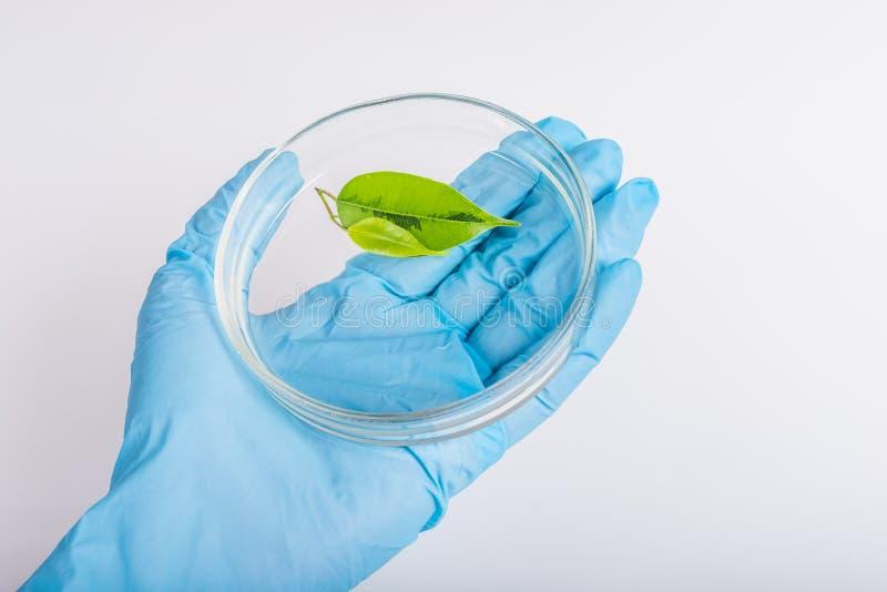 在拿着与植物的手套的手培养皿 免版税库存照片