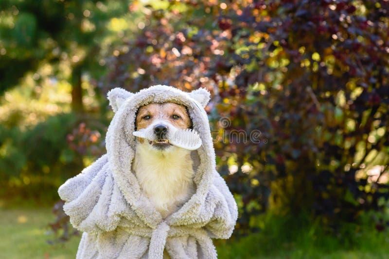 在拿着在嘴的阵雨以后的狗佩带的浴巾修饰刷子 库存图片