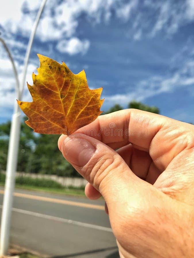 在拿着枫叶的手上的特写镜头图片