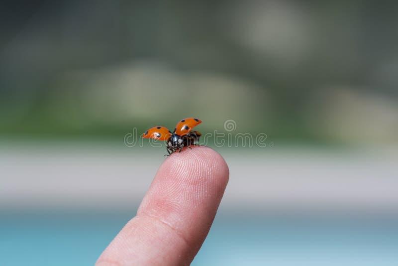 在指尖的瓢虫 库存照片