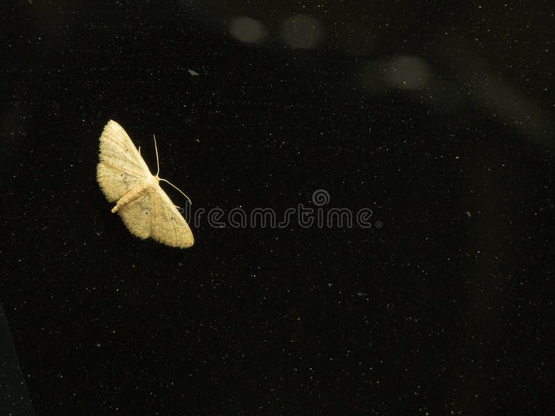 在挡风玻璃栖息的黄色飞蛾 库存图片