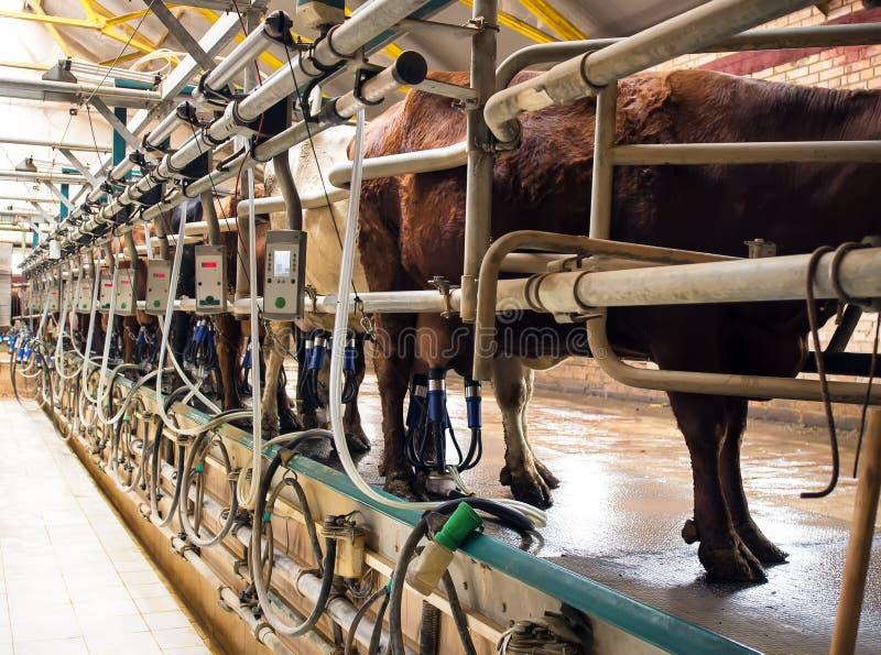 在挤奶的大厅里威胁挤奶设备和机械化挤奶设备 免版税图库摄影