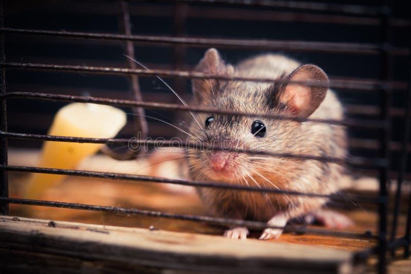 在捕鼠器捉住的鼠标 免版税库存图片