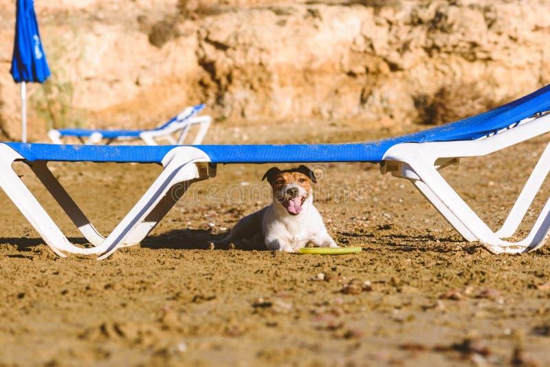 在掩藏在sunbed下的海滩的狗从热的太阳在使用与飞盘以后 图库摄影