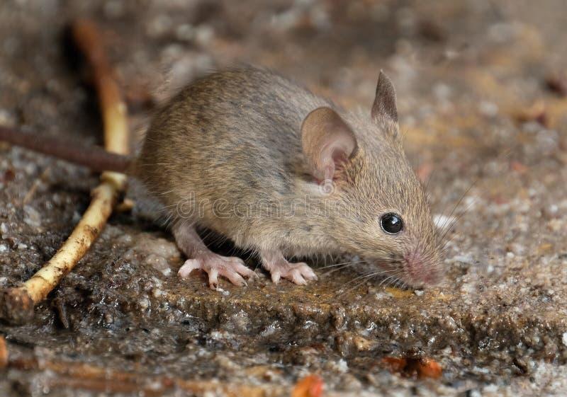 在掩藏的老鼠在都市房子庭院 库存照片