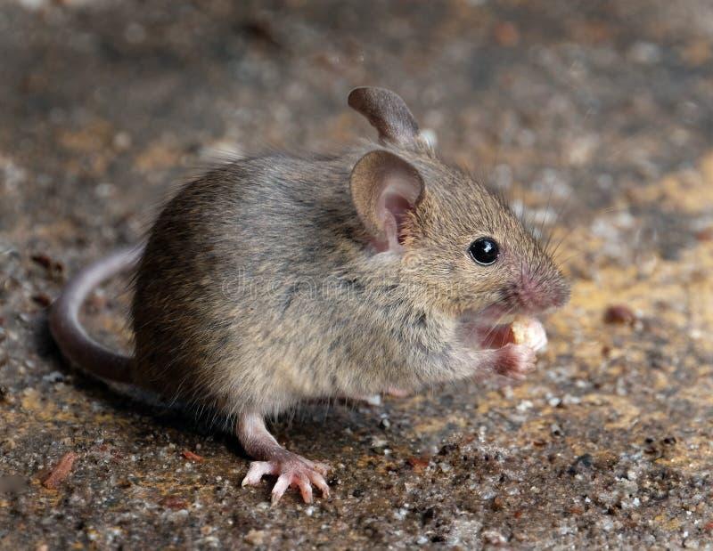 在掩藏的老鼠在都市房子庭院 库存图片
