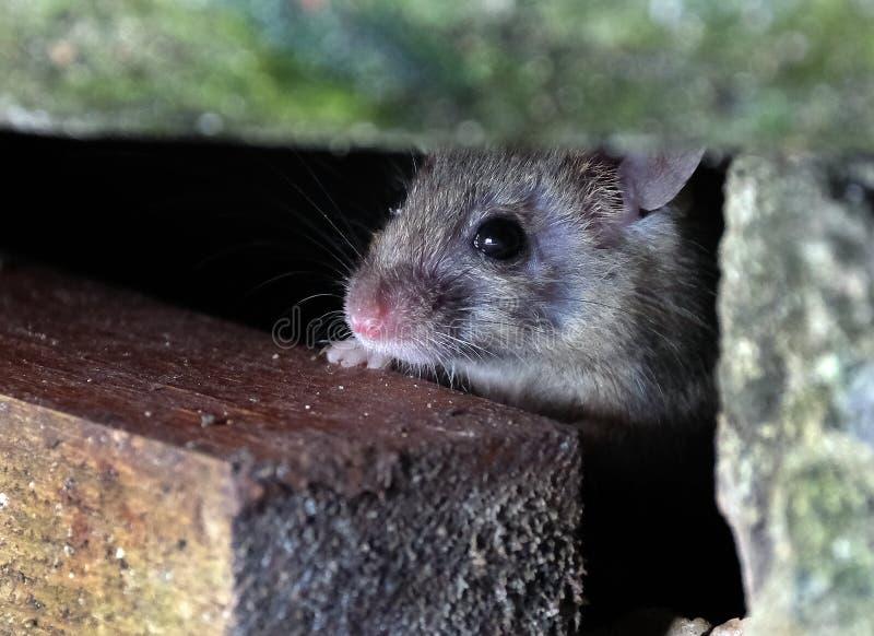 在掩藏的老鼠 免版税图库摄影