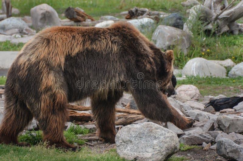 在搜寻的北美灰熊边在岩石和草 库存图片