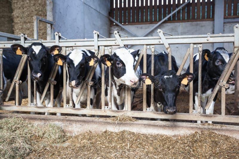 在摊位的母牛 免版税图库摄影