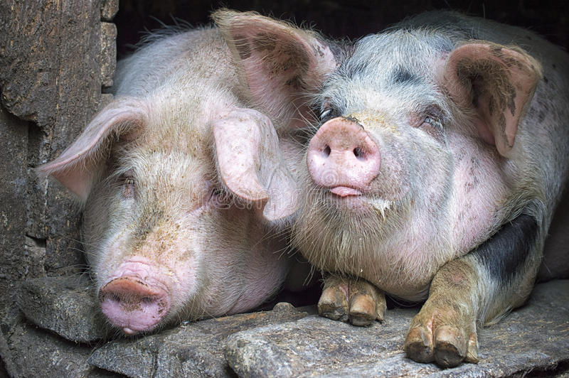 在摊位的滑稽的桃红色猪 免版税库存图片