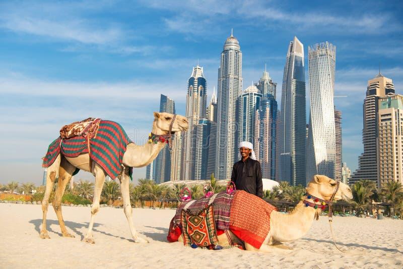 在摩天大楼背景的骆驼在海滩 阿拉伯联合酋长国迪拜小游艇船坞JBR海滩样式:骆驼和摩天大楼 图库摄影