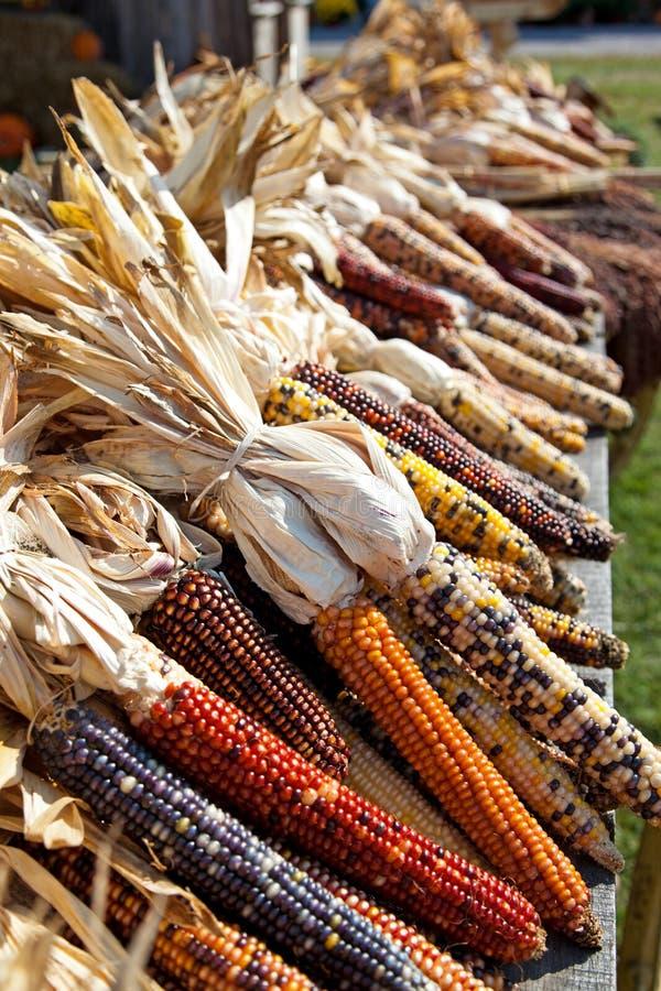 在收割期的干玉米玉米 免版税库存图片