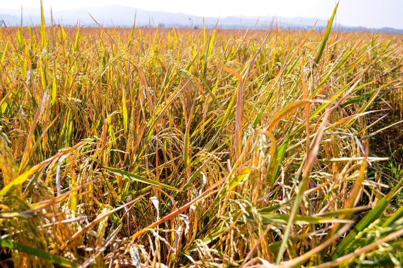 在收割期的稻田 库存图片