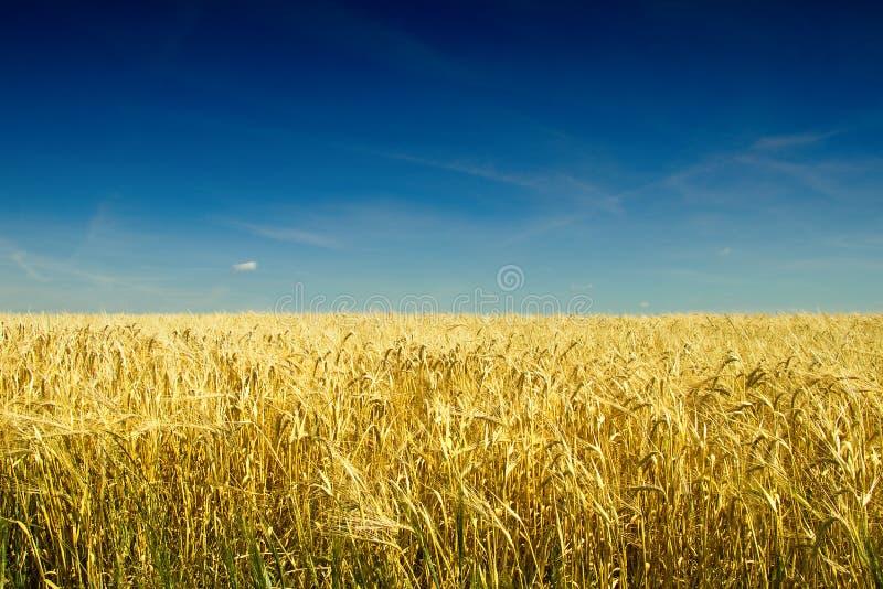 在收获前的金黄大麦领域在热的夏天 库存照片
